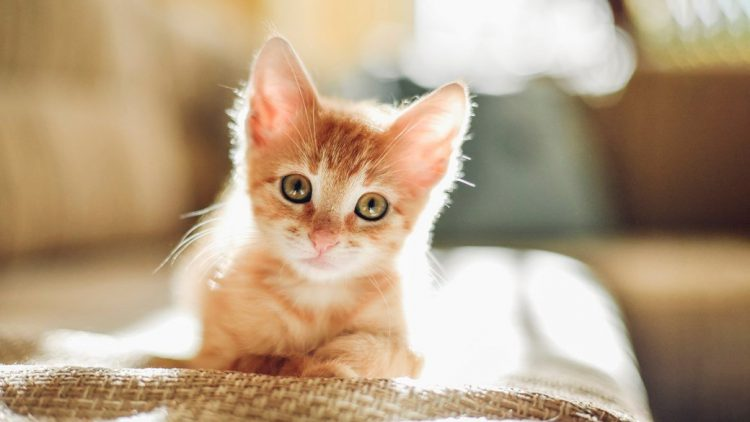 Symptoms Of Teething In Kittens And What To Do