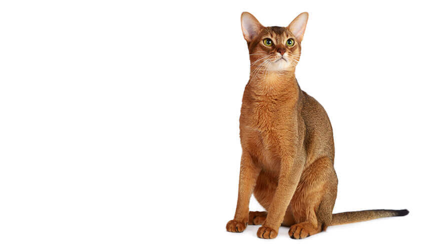 The Abyssinian Resembles Cat